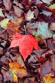 640x960 maple autumn leaves iphone 4