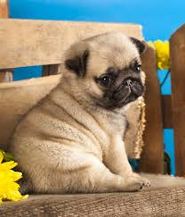 best food for pug puppies tasty