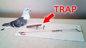 how to make an easy pigeon trap starx