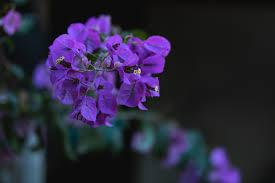 صور ورد بنفسجي صور أزهار أرجوانية طبيعية ورومانسية روزبيديا