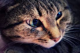 watery eyes in cats symptoms causes