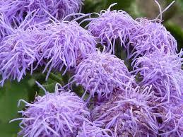 agerato damasquino in 2020 flowers