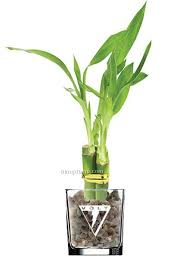 lucky bamboo plant in 4 glass vase 3