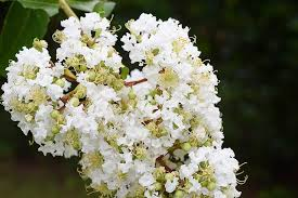 HD wallpaper: united states, clover, floral, crape myrtle, white ...