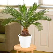 how to grow and care for sago palm