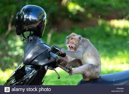 funny monkey sitting on a motorbike and
