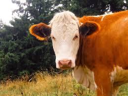 اللبن بالشيكولاتة يأتي من البقرة البنية 6 أساطير يؤمن بها