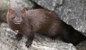 Minks in South Carolina? | South Carolina Public Radio