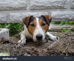Kind Smoothhaired Fox Terrier Dog Trying Animals Wildlife Stock Image 522756592