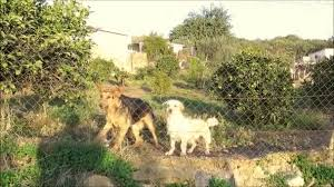 Three Dogs Wire Fence Garden Barking Photographer Andalusian Countryside Spain Stock Video C Johnnywalker61 315024542