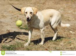 Cute Yellow Labrador Dog From Shelter ...