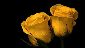 yellow roses nature plants flowers