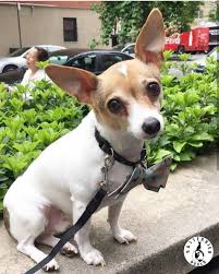 toy fox terrier dog breed info