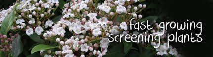 Best Fast Growing Plants For Privacy And Screening Searles Gardening
