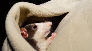bahaya obat pengusir tikus yang dapat sebabkan kematian pada manusia.