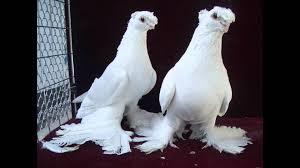 صور حمام طيور حمام الاصدقاء للاصدقاء