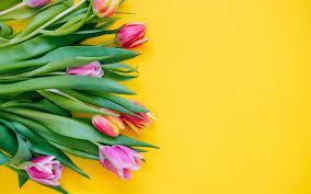 تحميل خلفيات الوردي الزنبق زهور الربيع الزنبق على خلفية صفراء