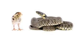 can pet snakes eat en embora pets