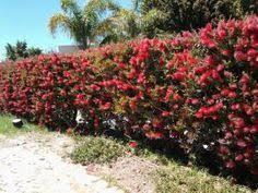Image Result For Bottle Brush Hedge Texas Hedges Landscaping Privacy Landscaping Australian Garden Design