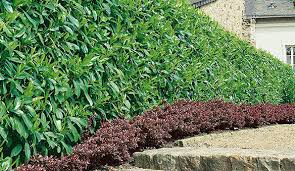 Best Privacy Hedges Evergreens For Privacy Instanthedge Blog