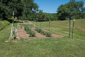 vegetable garden with caged tomatoes
