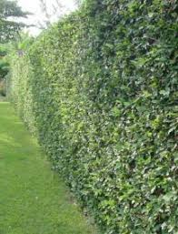Creeping Fig To Cover The Fence Grows Quickly And Could Be A Big Cost Saver If You Don T Mind Seeing The Fence For Fence Landscaping Natural Fence Farm Fence