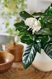 care for gardenia plants