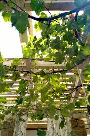 Growing Grapes How To Plant Maintain Grape Vines