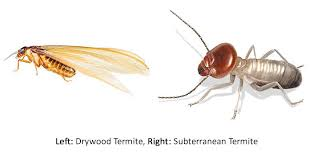 49+ Drywood Termite Wing Identification Images