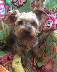 memphis tn yorkie yorkshire terrier