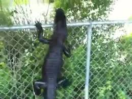Florida Just Got Alligators Climbing Fences Whole State Gotta Go Https T Co Bye5k1kpmo Coub The Biggest Video Meme Platform
