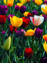 colorful flowers rose yellow red pink