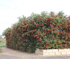 Slim Callistemon Is A Great Hedge For Tight Planting Areas Native Shrubs Ground Covers