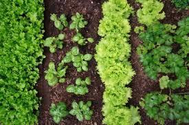 planting a zone 9 vegetable garden