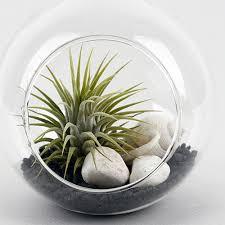air plants tillandsia hanging glass