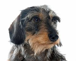 which dogs have wiry coats humbledogs
