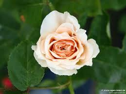 rose english junglekey co uk image 150
