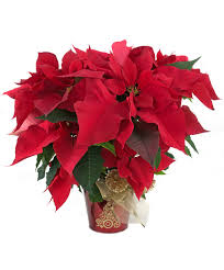 poinsettias and gift giving