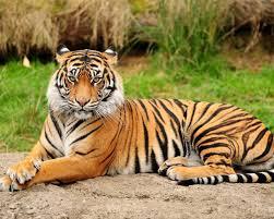 اجمل الصور للاسود والنمور رائعة ومميزة جدا