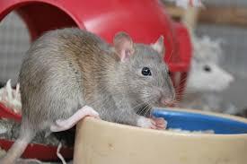 Eine rattenbesitzerin hat sich bei ihrem haustier mit dem hochinfektiösen seoulvirus angesteckt. Seoul Virus Raises Concern As It Emerges In Pet Rats In United States Upi Com