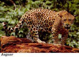 jaguar the only big cat of americas