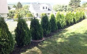 How To Plant Emerald Green Arborvitae Privacy Trees Distance Etc Pretty Purple Door