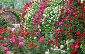 Privacy Plants A Living Fence For Your Outdoor Area Rose Garden Design Rose Cultivation Garden Design Plans