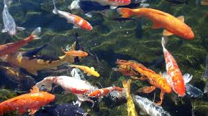koi fish moving wallpaper animated koi