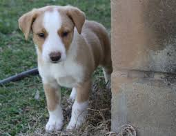 short hair border collie puppies for