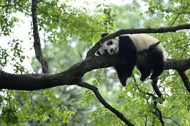 Giant Panda Habitat May Be Affected By ...