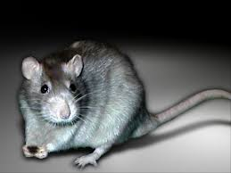 Übertragungen dieses virus von ratten auf menschen seien bereits in mehreren fällen auch außerhalb asiens dokumentiert worden, zum beispiel 2012 im yosemite park in kalifornien, usa. Seoulvirus Hashtag On Twitter