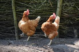 صور لـ جذاب رقص المنزلي مضحك حيوان دجاج الطيور