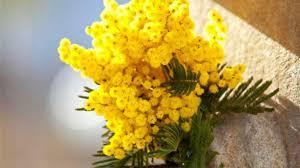 Festa della Donna, il dono della mimosa per le donne fu inventato ...