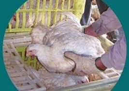 Cómo reducir en la prefaena las pérdidas de calidad y de rendimiento de los pollos enviados a la planta | Redmidia
